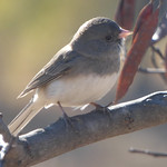 Dark-Eyed Junco, December 12, 2017 thumbnail