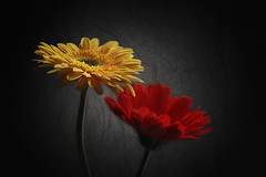 Yellow & red  - Gerberas (fucsia_7) Tags: flower gerbera details textured fondonegro flores couple par blackbackground red yellow rojo amarillo textura two petals light color beautiful image colorful