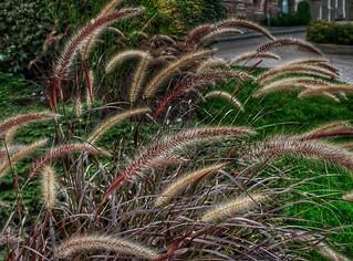 Stratford Ontario - Canada -  Fountain Grass  - Shakespearean  Garden Botanical  ~ Heritage