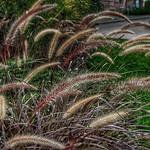 Stratford Ontario - Canada -  Fountain Grass  - Shakespearean  Garden Botanical  ~ Heritage thumbnail