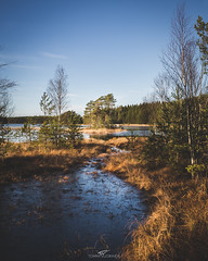 Matildanjärvi (tommi.vuorinen) Tags: lake stream tree salo finland autumn winter reeds morning sunrise serene clear frozen birch pine island water sky grass