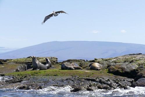 Galapagos sea lions & Pelican