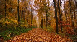 Larch alley in golden autumn