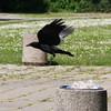 beim Räubern gestört (julia_HalleFotoFan) Tags: corvuscorone aaskrähe rabenvogel vogel rabenkrähe