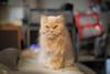 MAUC0088 (mau-daban) Tags: taiwan 台灣 貓 貓咪 喵 喵咪 cat cats kitty canon eos 5diii ef50mmf12l 寵物 動物 景深 哺乳類動物 小貓 臺灣 小黃 戶外 eos5d