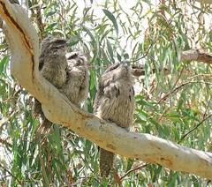 Podargus strigoides 12 (barryaceae) Tags: australian national botanic gardens canberra bird birds aves australianbirds ausbirds ausbird tawny frogmouth podargus strigoides