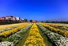 苗栗銅鑼杭菊 (游青峰 Daniel) Tags: 苗栗 銅鑼 杭菊 台灣 taiwan landscape flower 花