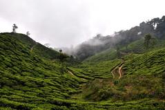 India - Kerala - Munnar - Tea Plantagen - 203 (asienman) Tags: india kerala munnar teaplantagen asienmanphotography