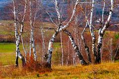 (Alin B.) Tags: alinbrotea nature autumn fall toamna october november rusty tree wood birch rustic