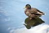 Bild 226/365 (PiaLiz) Tags: gräsand mallard vatten spegling