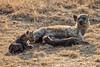 Spotted hyena - one has had enough (NettyA) Tags: 2017 africa crocutacrocuta day1 krugernationalpark southafrica animal baby hyena juvenile safari spottedhyena wildlife suckling