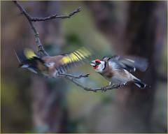 Goldfinches... (Linton Snapper) Tags: bird cambridgeshire goldfinch gardenbirds garden canon lintonsnapper wildbirds