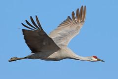 7D2_8910_DPP.Comp2048 (SF_HDV) Tags: canon7dmarkii canon7dmark2 7dmarkii 7dmark2 7dm2 california sacramentodelta sacramentocounty cosumnesriverpreserve bird crane sandhillcrane birdsinflight