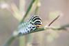 Chenille Machaon ( Papilio machaon )-2 (lolo_31) Tags: machaon papiliomachaonlinnaeus1758 papilionidae papilioninae papillondejour rhopalocères