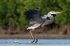 Knuckle Dragger (PeterBrannon) Tags: ardeaherodias bird florida fortdesoto greatblueheron heron nature skimming wildlife action knuckledragger