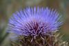 Cardo - Thistle (christian_kollinger) Tags: cardo thistle salvaje costa san clemente lila colorfull savage macro macroporn 11 nikon nikond750 micronikkor105