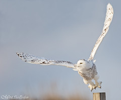 Houston, We Have Lift Off! (Snowy Owl) (Mitch Vanbeekum Photography) Tags: snowyowl snowy owl snow beach nj newjersey mitchvanbeekum mitchvanbeekumcom canon14teleconvertermkiii canoneos1dx canonef500mmf4lisiiusm flying flight fly inflight post sky blue
