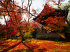 遍地紅葉怨秋風 (sunnyha) Tags: kinkakuji mapleleaves rokuonji kyoto japan red plant butterfly autumn sunnyha sky sunny sonyilce7rm2 sony outdoors color colour colours photographier photograph photographer landscape landschap 紅葉 京都 日本 金閣寺 鹿苑寺 攝影 寫真 sun sunlight 楓 japon automne culturejaponaise templedupavillondor tradiciónjaponesa japón kioto templodoradodelpabellón otoño japão quioto templodopavilhãodeouro fall