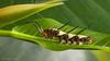 Ruddy Daggerwing (Marpesia petreus) Larva. (od0man) Tags: ruddydaggerwing marpesiapetreus lepidoptera nymphalidae insect butterfly larva caterpillar macro loxahatcheenationalwildliferefuge palmbeachcounty florida usa canonef100mmf28lisusmmacro macrolife