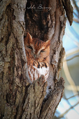Eastern Screech Owl (johnbacaring) Tags: screechowl easternscreechowl owl nature birding wildlife newjersey jerseyshore birdsofprey