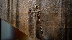 Visitor (lukemarkof) Tags: melbourne australian leica happy depth outdoor style dragonfly challenging interest city fun shadow funky australia leicaq classic brunswick art play black exposure special insect exotic dark light