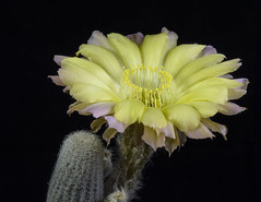 Lobivia albolanata (clement_peiffer) Tags: cactus flower isolated black flowers yellow background dark white nature large beautiful closeup plant blossom succulent beauty green color spring floral macro flora bloom desert close part clipping pot decoration natural colorful shape season orange outdoor view lobivia throat spine spines thorn