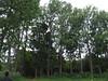 Grevillea robusta and Lophostemon confertus windbreaks (J. B. Friday) Tags: windbreaks grevillea grevillearobusta proteaceae lophostemon tristania lophostemonconfertus tristaniaconferta