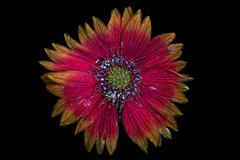 Blanketflower Blooming 3 s (C. Burrows) Tags: uvivf flower botany nature blanketflower