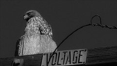 VOLTAGE (Rand Luv'n Life) Tags: odc our daily challenge red tail hawk perched telephone pole high voltage sign wood wire monochrome blackandwhite outdoor san diego california