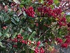 Toyon Clusters (Melinda Young Stuart) Tags: berry fruit red winter clusters bunches toyon color uc ucbg