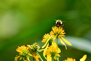 Bee with Yellow Wildflower