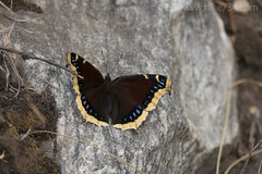 "Mourning Cloak Butterfly • <a style=""font-size:0.8em;"" href=""http://www.flickr.com/photos/63501323@N07/37594698354/"" target=""_blank"">View on Flickr</a>"