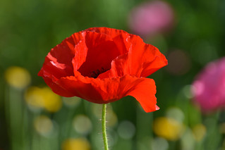 A poppy for Remembrance Day