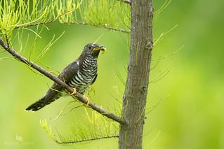 Common cuckoo (Cuculus canorus) 普通杜鹃 pǔ tōng dù juān