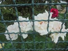 160 (en-ri) Tags: rose roses sony sonysti bianco rosso verde grata foglie leaves