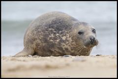Seals (Thomas Winstone) Tags: seals seal pup wild wildlife nature canon1dxmark2 3lt 3leggedthing thomaswinstonephotography bbc springwatch bbcspringwatch nationalgeographic canonuk canon 300mm28mk2 mammal mammals uk outdoor
