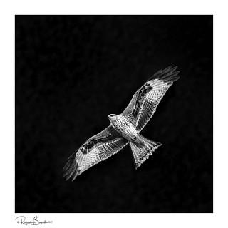 Red Kite by night