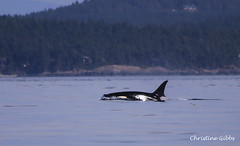 Surfacing Orca1 (ChristineGibbs) Tags: canon eos eos6 canon75300mm vancouverisland cowichan cowichanbay whalewatching oceanadventures orca whales mtbaker usa canada boats sea