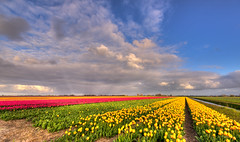 When yellow touches blue. (Alex-de-Haas) Tags: oogvoornoordholland 1635mm d750 dutch europe hdr holland nederland nederlands nikkor nikon noordholland thenetherlands clouds landscape landschap lucht nature natuur skies sky tulip tulipfields tulipa tulips tulp tulpen tulpenvelden wolken
