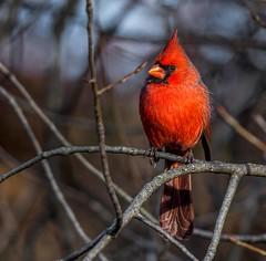Conspicuous Beauty (Wes Iversen) Tags: brighton cardinaliscardinalis kensingtonmetropark michigan milford northerncardinal tamron150600mm autumn birds male red square wildlife sunrays5