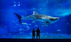 Okinawa Shark (Stuck in Customs) Tags: japan okinawa 80stays rcmemories treyratcliff stuckincustoms stuckincustomscom shark whale fin blue water aquarium hasselblad fish people portrait view sea