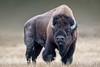 Big boy (Nedko Nedkov) Tags: fall grandteton usa wayoming yellowstone aiutumn landscape wildlife