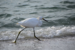 walking in bubbles (all one thing (off and on...)) Tags: egrettathula snowyegret egret walkinginbubbles surf gulfofmexico water beach nature bird