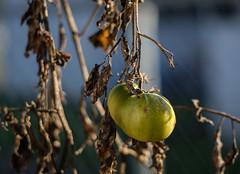Vine Decayed Tomato (lancekingphoto) Tags: tomato gardenafterfrost late fall dead decay fujifilmxt2 hexanon50mmf14 konicalens adapter fujifilmchromesimulation macro