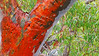 Angophora costata_6 (Tony Markham) Tags: angophoracostata sydneyredgum rustygum smoothbarkedapple blushing orange red pink colour color myrtaceae tree flowering flower inflorescence wisestrack royalnationalpark