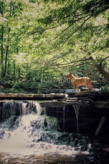 Happy Dog! (kyleobrien1) Tags: pitbull water nature hiking dogs