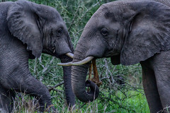 Elies (zimbart) Tags: gorongosanationalpark mozambique africa fauna vertebrata mammals proboscidea loxodonta loxodontaafricana elephant elephantidae