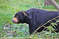 IMG_0870 (jaybluejeans94) Tags: chester zoo bear chesterzoo sunbear wild animal animals nature