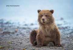 Fuzzy Wuzzy (WhiteEye2) Tags: brownbear brownbearcub nature wildlife alaska lakeclarknationalparkandpreserve babyanimals cute adorable