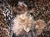 Flo Yorkie Poo Dog (@oakhamuk) Tags: flo yorkiepoo dog